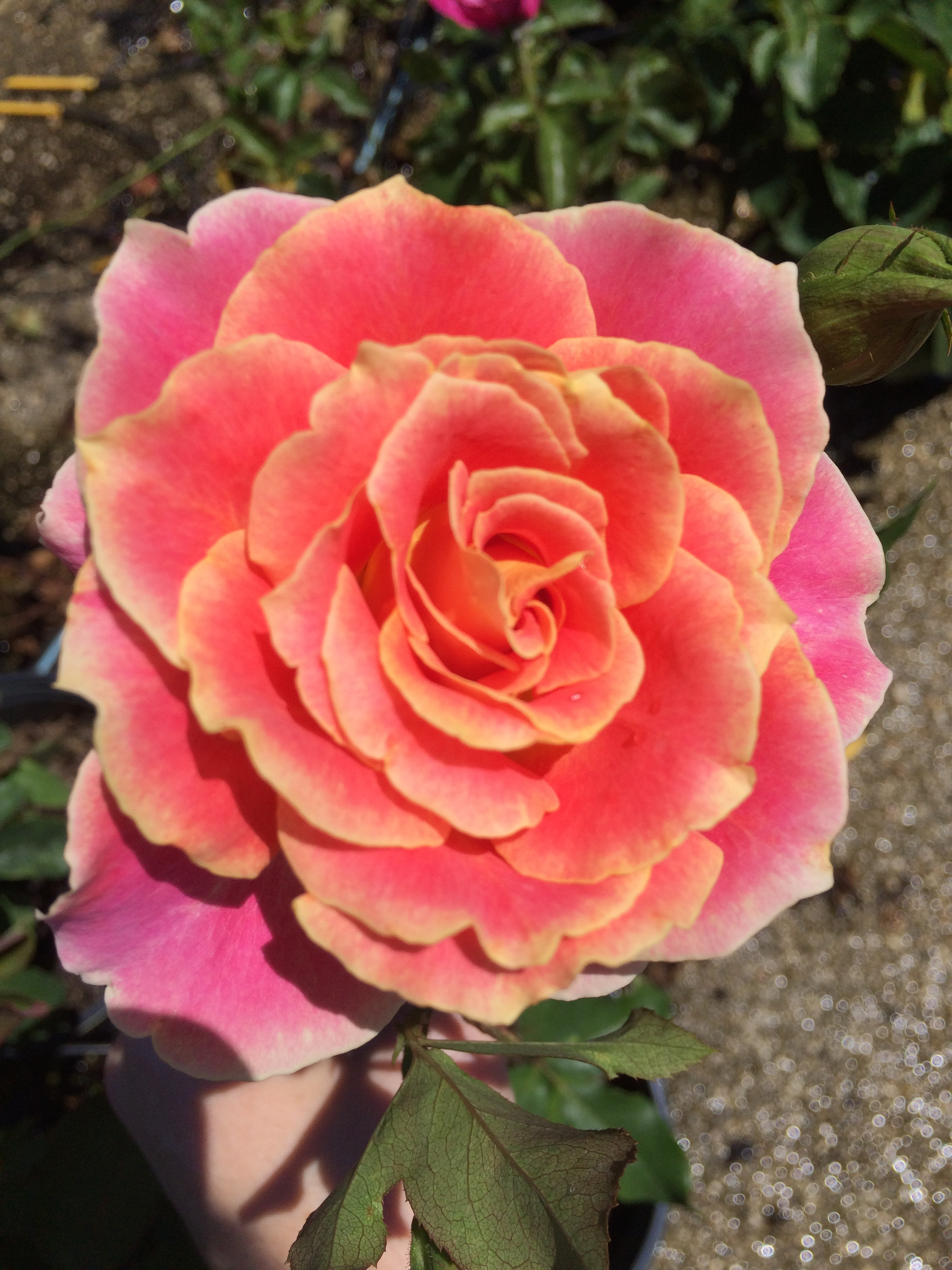 Multi colored nelson 39 s florida roses for Dual color roses