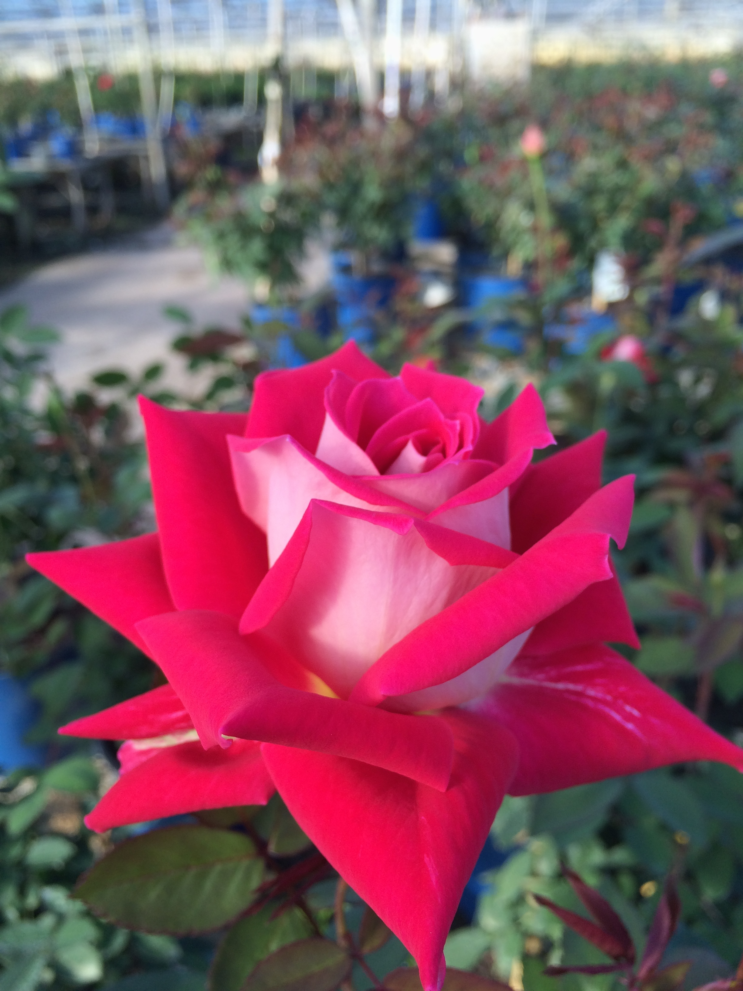 multicolored nelsons florida roses