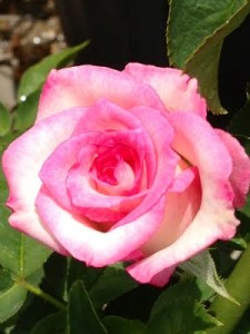 multi pink and white Hybrid Tea Lynn Anderson