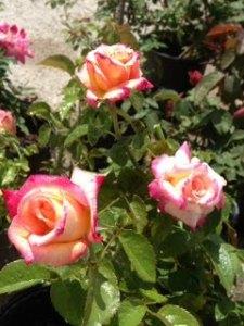 multi Shelias Perfume Florabunda