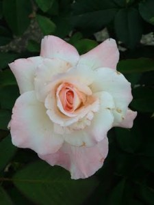 multi white and pink hybrid tea Pristine