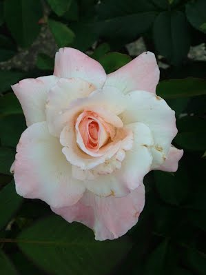 multi white and pink hybrid tea Pristine
