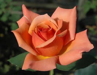 Orange-Bronze Florabunda Tuscan Sun