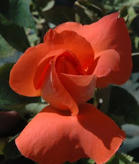 Orange Hybrid Tea Cary Grant