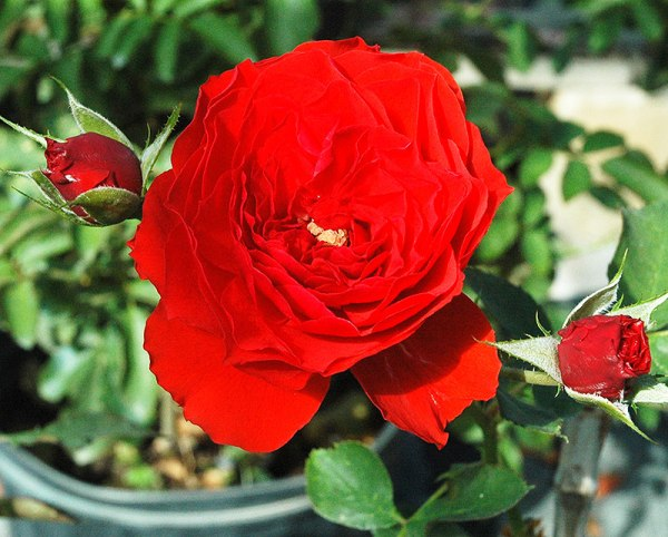 Orange-Red-Floribunda-Trumeteer