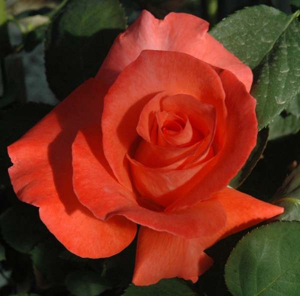 Orange:Coral Hybrid Tea Touch of Class