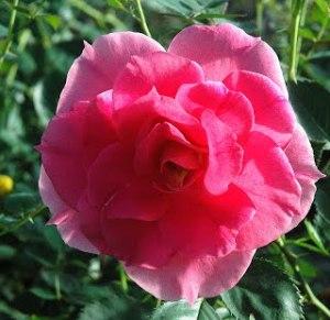 Pink-Shrub-Carefree-Wonder