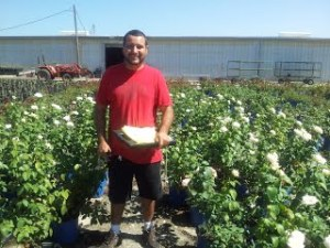 Ramon Diaz surveying roses for delivery