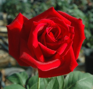 Red Hybrid Tea Mr. Lincoln (1)