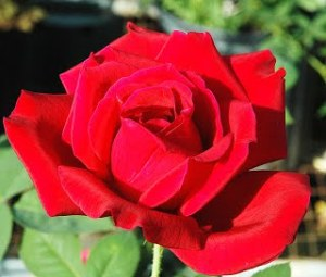 Red-Hybrid-Tea-Veterans-Honor