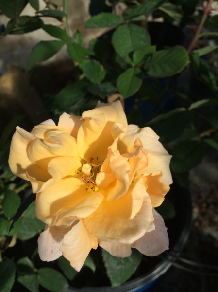grandifloras nelsons florida roses