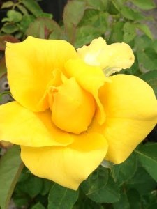 yellow hybrid tea henry fonda