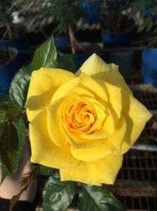 YellowBrandyBloom1