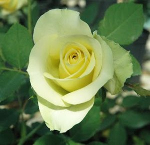 Yellow-Pale-Hybrid-Tea-Elina